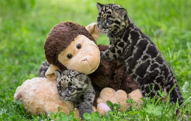 Three Clouded Leopards Born At Nashville Zoo