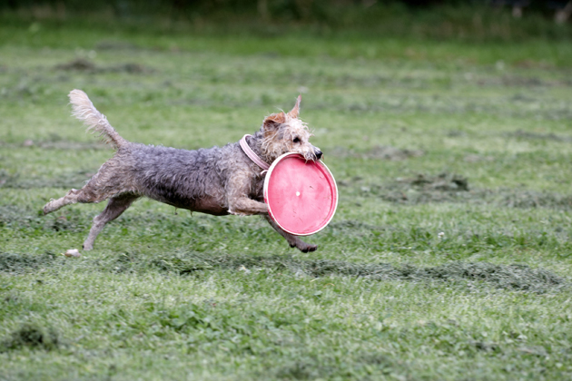 Dog running with frisbee in mouth