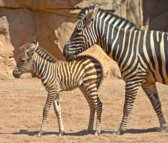 Baby zebra born at Zoo Bioparc Valencia