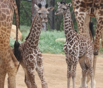 A pair of giraffe calves were born 10 days apart at the Santa Barbara Zoo.