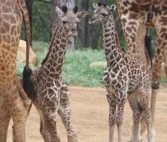A pair of giraffe calves were born 10 days apart at the Santa Barbara Zoo.