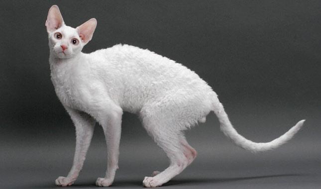 a27353fab22a0c Cornish Rex Cat Breed Information