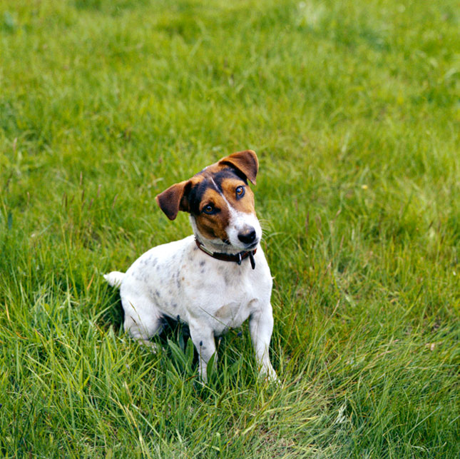 russell terrier breed jack russell terrier breed information 8801