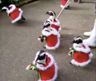 A colony of penguins dons their Santa costumes daily for a waddle through a Japanese park.