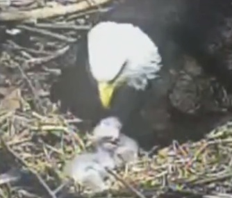 A mother bald eagle cares for her chicks in their Pittsburgh nest.