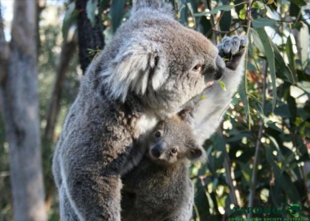 Koala Joey Steps Out of Mom's Pouch