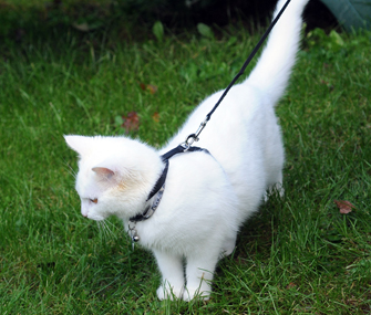 Cat on leash