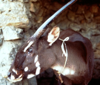 An elusive saola like this one was sighted by a remote camera in Vietnam.