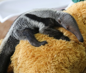 A giant anteater pup rejected by her mom loves her teddy bear surrogate.