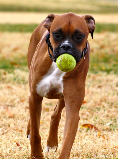 Boxer With Tennis Ball