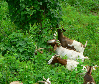 goats eating foliage