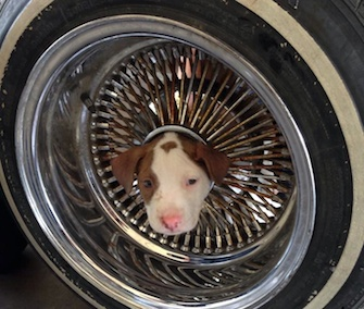 R.J., a Pit Bull mix puppy, needed the help of firefighters to get his head out of a car wheel rim.