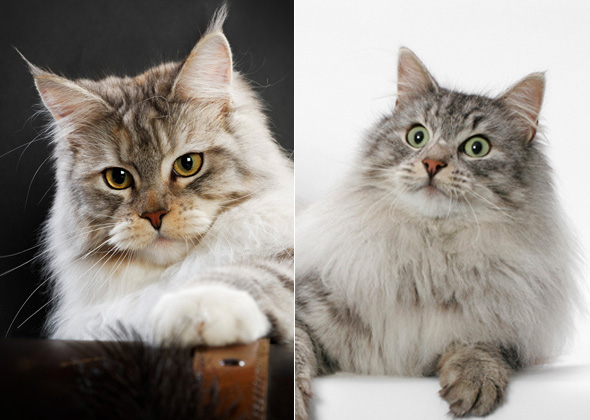 10 Look Alike Cat Breeds And How To Tell Them Apart