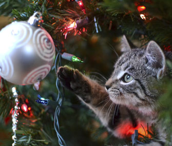 Kitten playing with ornament in a Christmas tree