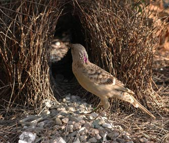 Male bowerbirds build elaborate nests