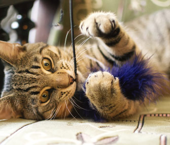 Adult Cat Playing With Feather Toy