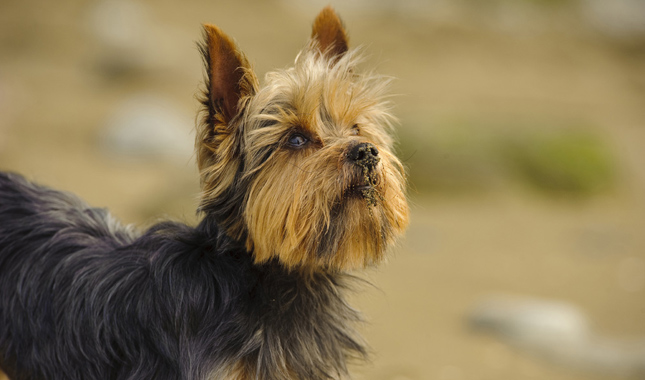 yorkie terrier breed yorkshire terrier dog breed information 627
