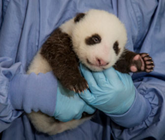Panda cub at the San Diego Zoo