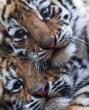 Tiger twin cubs
