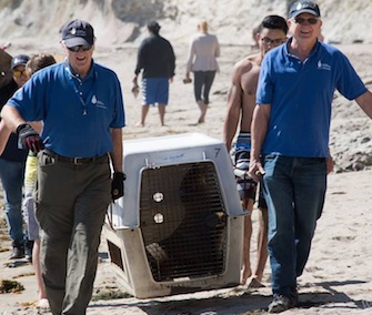Beachgoers helped rescuers from the Marine Mammal Center lift a stranded sea lion up the stairs to their truck.