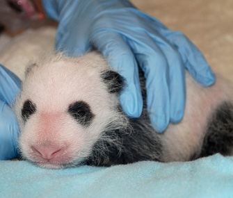 The panda cub at the National Zoo gets her first full veterinary exam.
