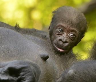 Elle Cincinnati Zoo baby gorilla