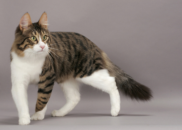 cbb1093f51 10 Cat Breeds Who Like to Play With Dogs