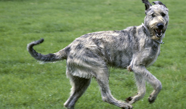 photos of irish wolfhound irish wolfhound breed information 5463