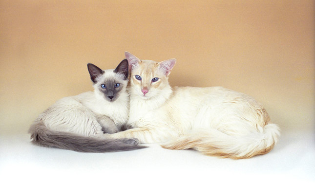 Balinese Cat Breed Information