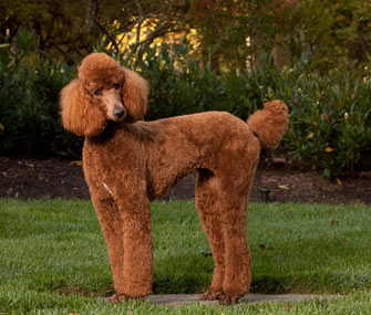 The Most Popular Poodle Names