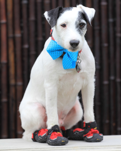 Jack Russell Terrier Dressed Up