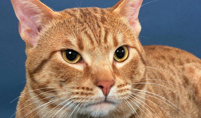 Ocicat Cat Breed Information
