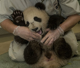 Xiao Liwu got a clean bill of health on Wednesday at his latest exam.