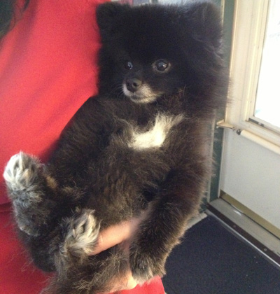 Pomeranian being held like a baby
