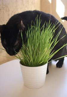cat with pot of grass