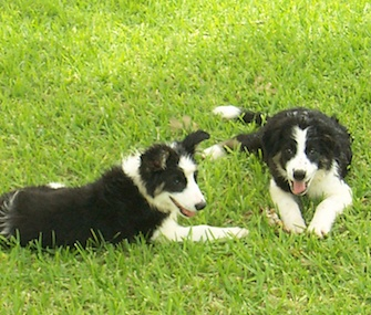 Study author Christine Harris says her parents' Border Collies inspired her research about dogs and jealousy.