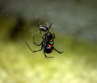 Widow Spider