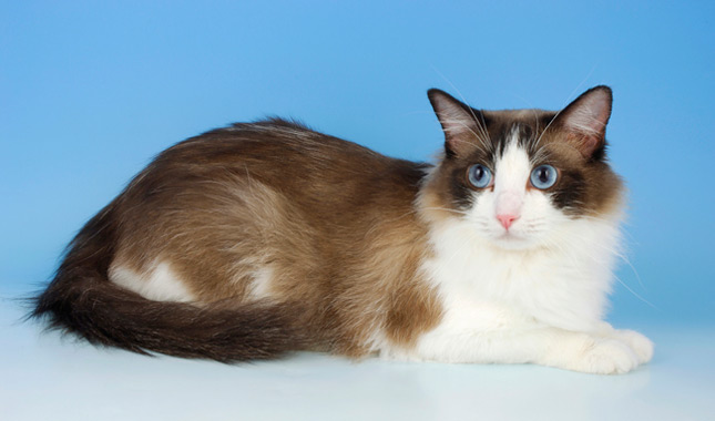 Ragdoll Cat Breed Information