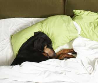 Dog under the covers