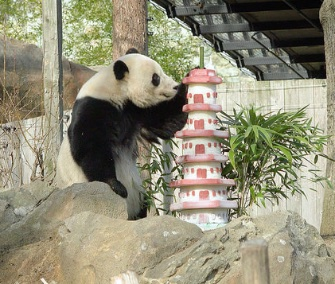 Bao Bao enjoys a specially made ice cake on her last day at the National Zoo on Monday.