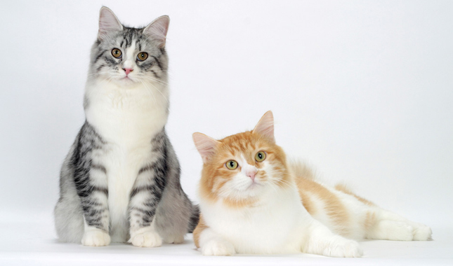 Silver Mackerel Tabby and White and Red Mackerel Tabby and White Siberians