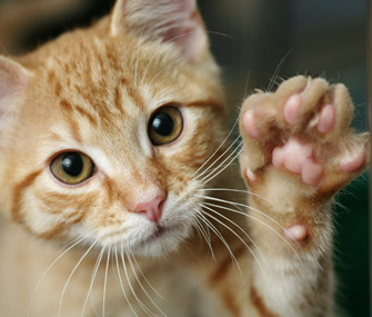 Kitten giving a high five