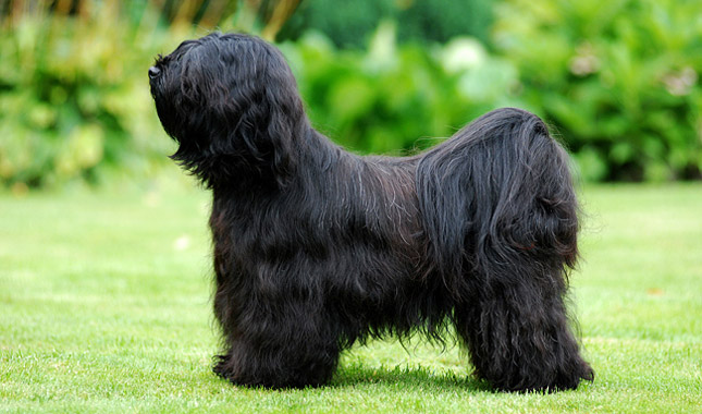himalayan terrier tibetan terrier dog breed information 5472