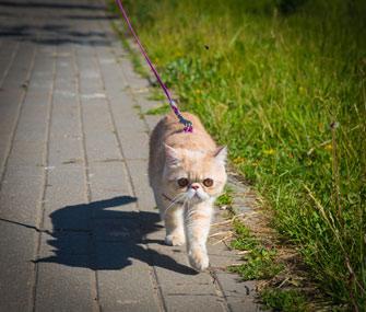 Cat in harness walking on leash