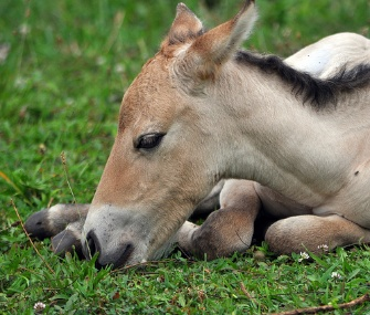 A female Przewalski's horse was born at the Smithsonian Conservation Biology Institute on July 27.