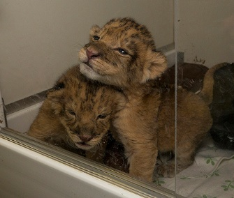 Two lion cubs born last week at the San Diego Safari Park will be hand-reared by their keepers.
