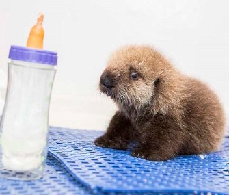 An orphaned 5-week-old southern sea otter pup has a new permanent home at the Shedd Aquarium.