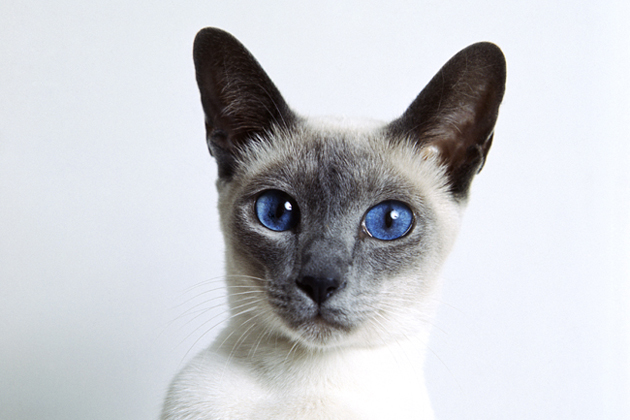 Blue Eyed Cats Eye Problems