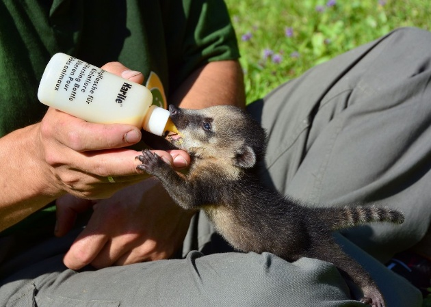 Coati pup drinking from a bottle