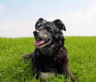 Senior dog in grass